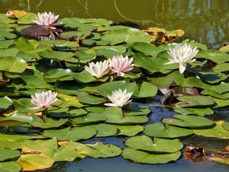 Water lilies by ordinarygirl1
