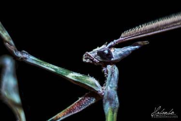 Praying mantis by Habanbo