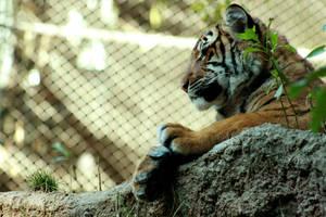 Tiger V by Lucky13Grl