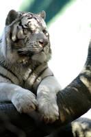 Tiger VII by Lucky13Grl