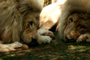 Lion II by Lucky13Grl