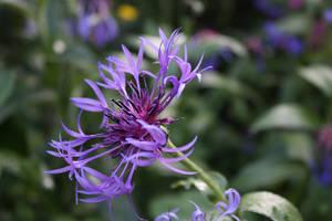 Purple flower by nouveller