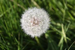Dandelion by nouveller