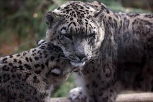 Snow Leopard pair by nouveller