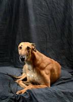 greyhound-6 by xstockx