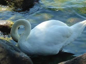 Swan by cellular