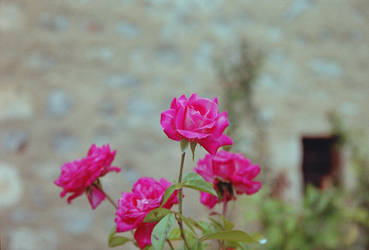 The Violet Rose R002-001 by IASONAS4