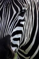 zebra by scoot75