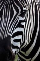 zebra by scoot75