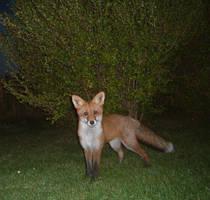 The Fox by Jambalaya