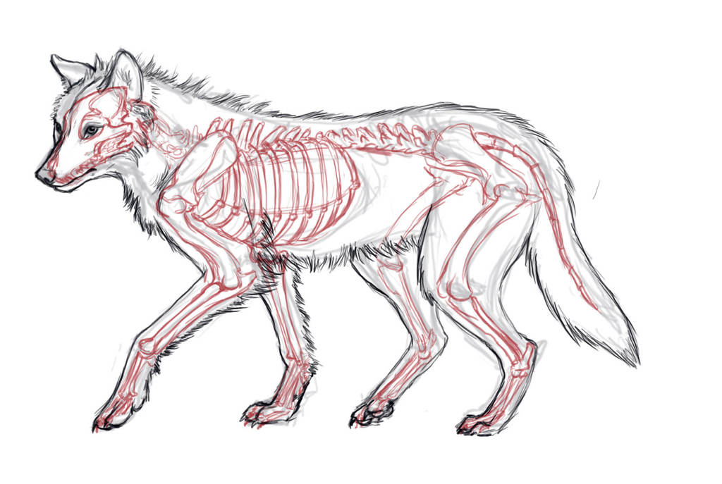Wolf Anatomy Study By Javamoos On Deviantart