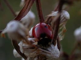 lady Beettle by joeyramone76