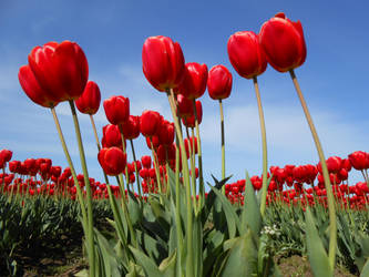 Red Tulips 3 by Chernobylpets
