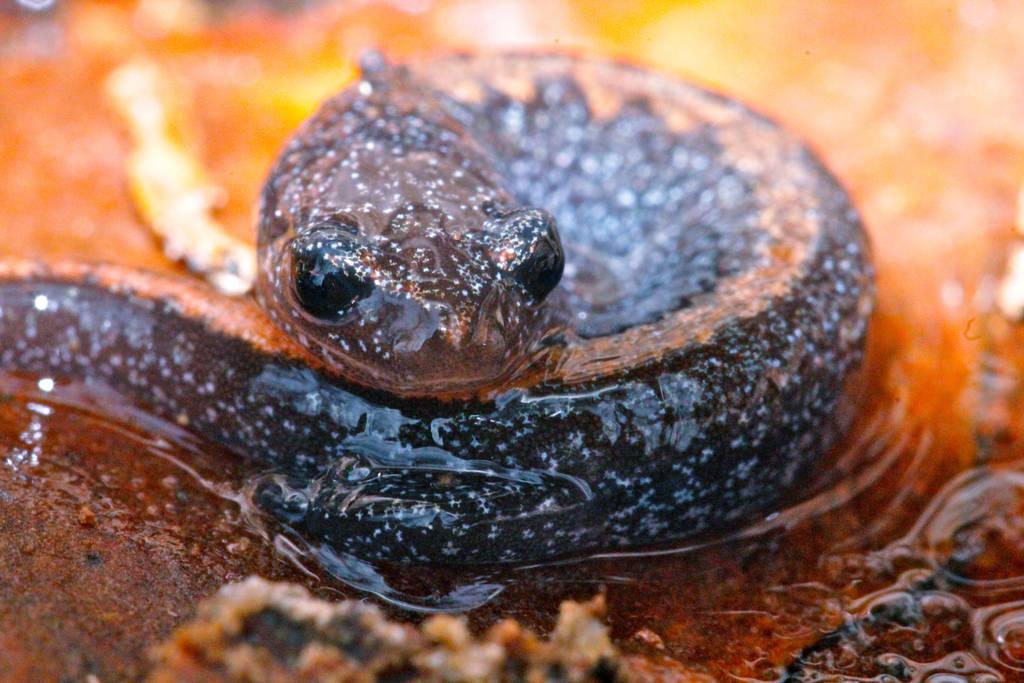 Ozark Zigzag Salamander by DoctorPhrog