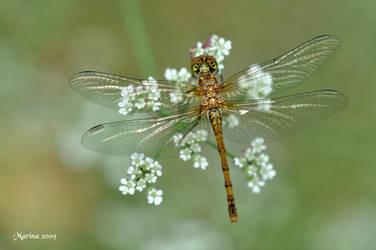 Dragonfly II by tripping-daisy