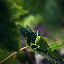 Grasshopper II by markie2k
