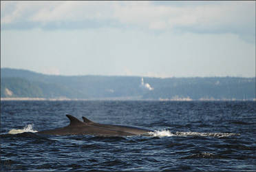 Fin whales by Louvargent