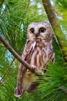 saw whet owl by griffspixs