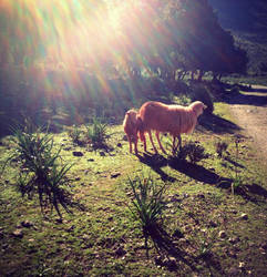 Sheep in the sun by Voltaire666