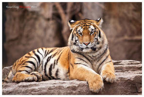 Big Cat by RHCheng