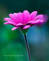 African Daisy by RHCheng