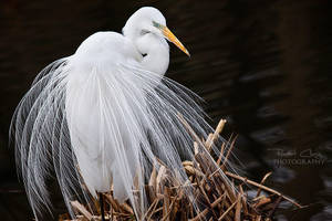 Great Egret by RHCheng