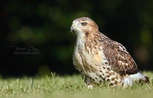 Handsome Hawk by RHCheng