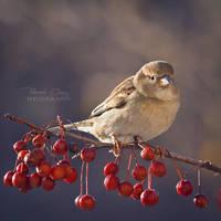 .:Backyard Sparrow:. by RHCheng