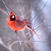 .:Winter Cardinal:. by RHCheng