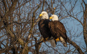 .:Eagle Couple:. by RHCheng