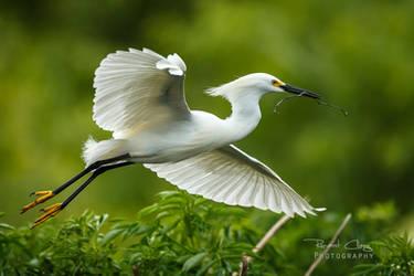 .:Snowy Egret:. by RHCheng