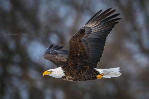 .:Eagle in Flight:. by RHCheng