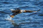.:Eagle Fishing II:. by RHCheng