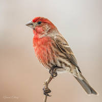.:House Finch:. by RHCheng