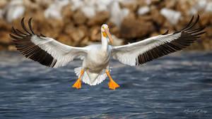 .:Pelican Spread:. by RHCheng