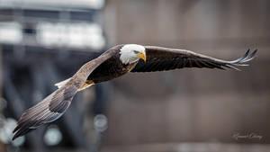 .:Bald Eagle III:. by RHCheng