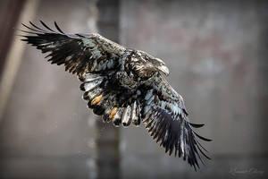 .:Juvenile Bald Eagle:. by RHCheng