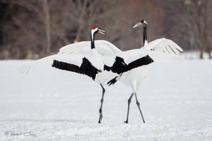 .:Dancing Cranes:. by RHCheng