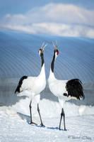 .:Crane Duet:. by RHCheng