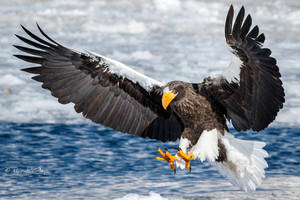 .:Steller's Sea Eagle I:. by RHCheng