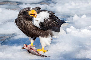 .:Steller's Sea Eagle II:. by RHCheng