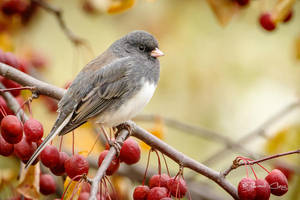 .:Junco:. by RHCheng