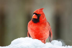 .:Red Cardinal:. by RHCheng