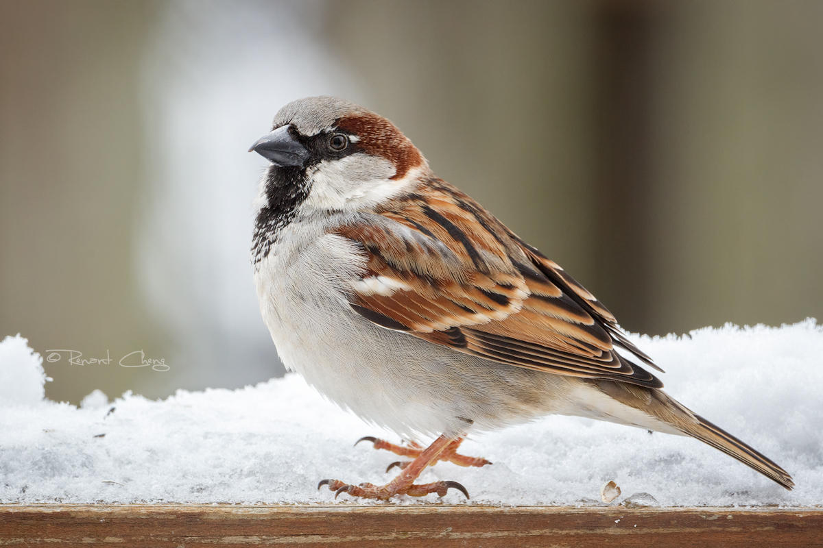 .:House Sparrow:. by RHCheng