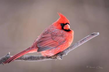 .:Cardinal Portrait I:. by RHCheng