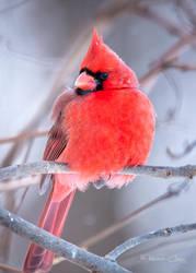 .:Cardinal Portrait II:. by RHCheng