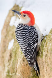 .:Red-Bellied Woodpecker:. by RHCheng