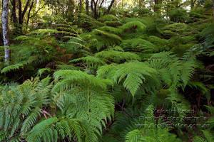 Ferns Galore by FireflyPhotosAust