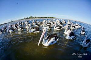 Pelicans Through a Fisheye by FireflyPhotosAust