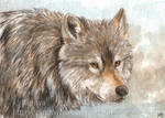 Wild Wolf ACEO by Pannya